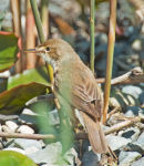 Reed Warbler;Acrocephalus scirpaceus