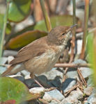 Reed Warbler; Acrocephalus scirpaceus