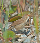 Reed Warbler; Acrocephlus scirpaceus