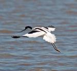 Avocet; Recurvirostra avosetta