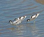 Avocets; Recurvirostra avosetta