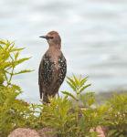 Starling; (Juvenile) Cygnus olor