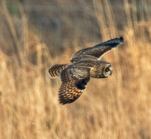 Short; Eared; Owl; Asio flammeus