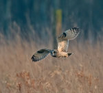Short; Eared; Owl; Asio; flammeus