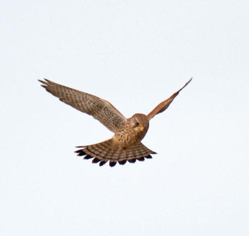 Kestrel; Falco; tinnunculus;