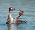 Great; Crested; Grebe; Podiceps cristatus