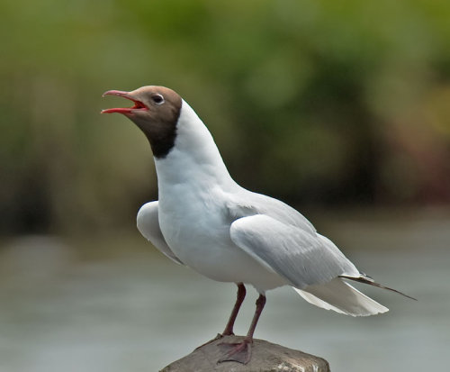 Black; Headed; Gull; Chrolcocephalus; ridibundus
