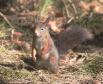 Red; Squirrel; Scivrus; vulgaris