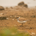 Little; Ringed; Plover; Charadrius; dubius