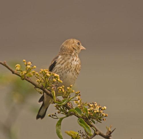 Goldfinch'(Juvanile); Carduelis; carduelis