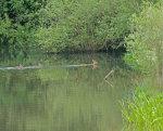 Roe Deer Capreolus capreolusl