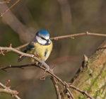 Blue Tit Parus, caeruleus