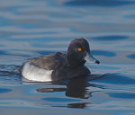 Tufted Duck; Aythya; fuligula