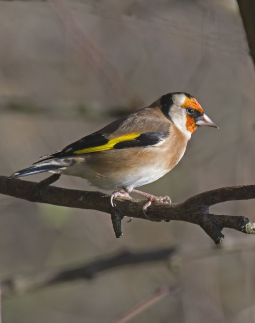 Goldfinch; Carduelis;carduelis