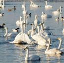 Swans;Cygnus cygnus
