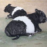 Beltie heifers