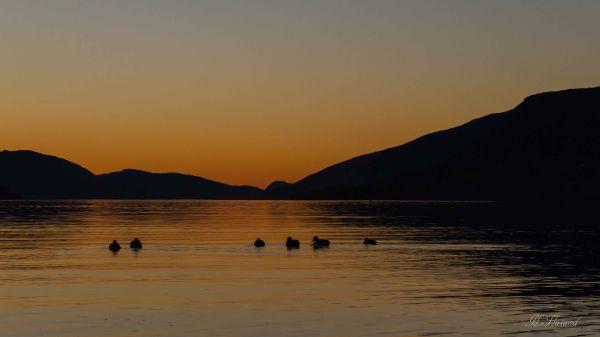 Golden Ducks