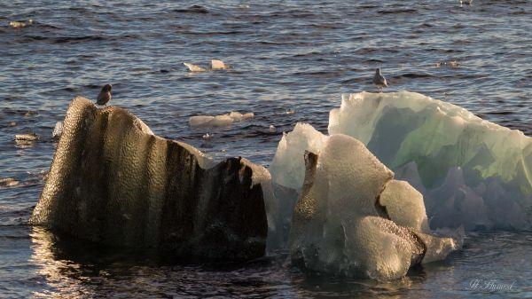 Polarmåser på isklumper.