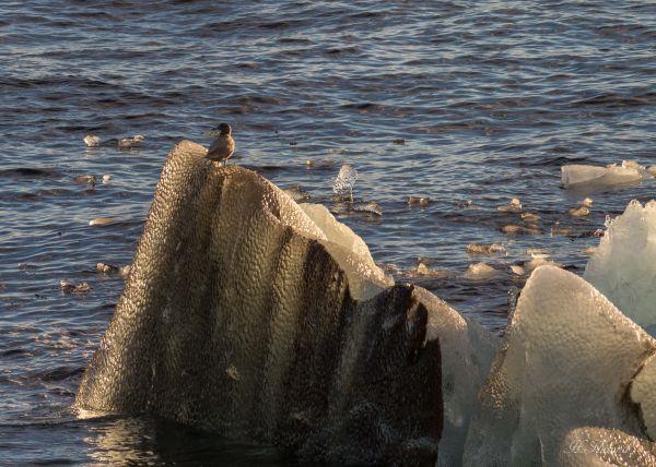 Polarmåse på Isklump