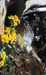 Celandines in spring