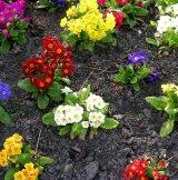 Garden primroses