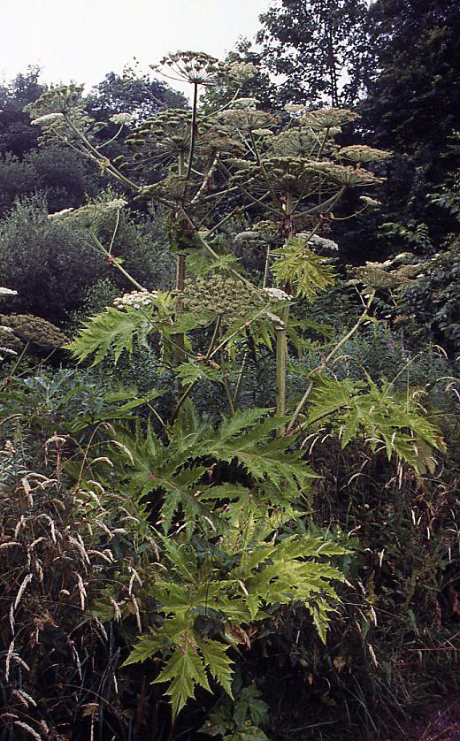 Giant hogweed, Banff