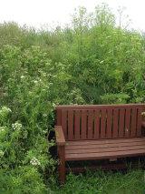Hemlock by the bench