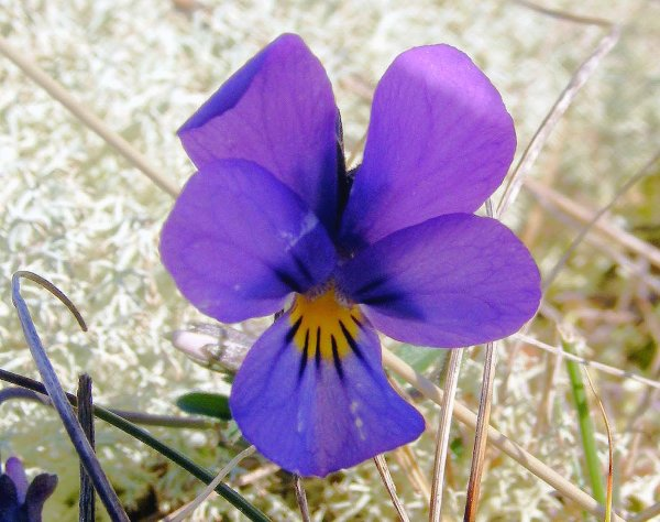 Mountain pansy