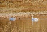 Mute swans on the Coastguards Pool