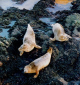 Seals at Whinnyfold. Scottish & Canadian seal stories.