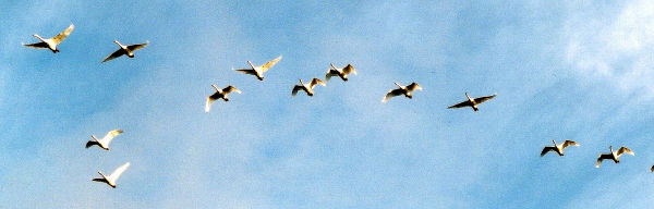 Skein of geese in flight