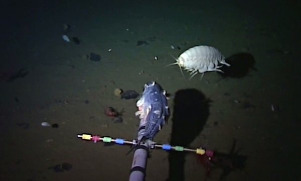 Life in the Mariana Trench. Snailfish sets depth record.