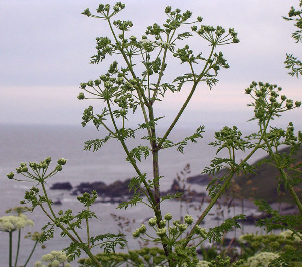 Poison hemlock. Park your butt on the bench, by all means. Butt be careful! You are surrounded by hemlock.