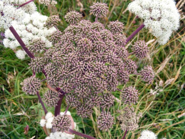 Wild angelica. The stems are edible and are used in cake decoration. Other members of this plant family - hogweed and hemlock - can scar the skin and are toxic