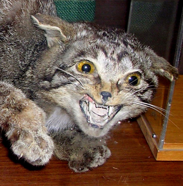 A stuffed wildcat, Felis silvestris, in the Zoology Department, Aberdeen University