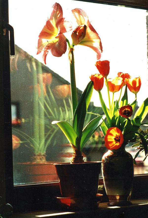 Amaryllis and tulips