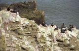 Shags fishing from rocks at Hackley Bay