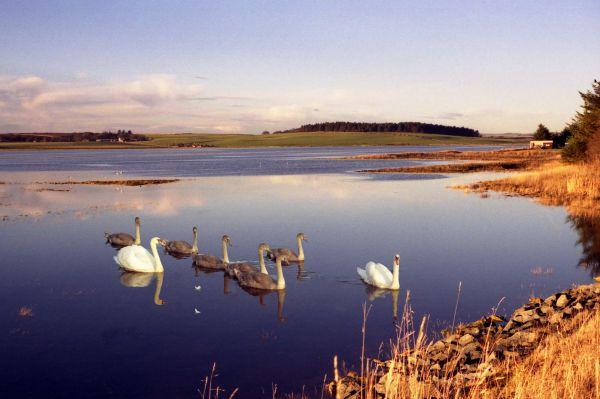 Swans on the Ythan estuary, Newburgh