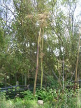 Giant hogweed, Bridge of Don