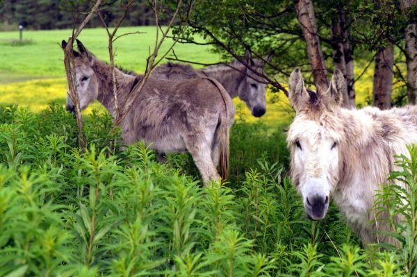 Donkeys on the Old Deeside Railway line