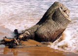 Tree trunk, Forvie Sands