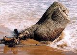 Tree trunk, Forvie Sands