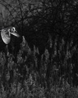 1st Place Hunting Barn Owl By Derek Walker