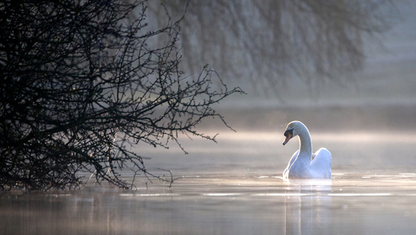 2nd Place Lone Swan by Derek Walker