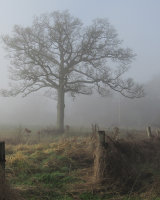 2nd Place Tree in the Mist by Susan Cordiner