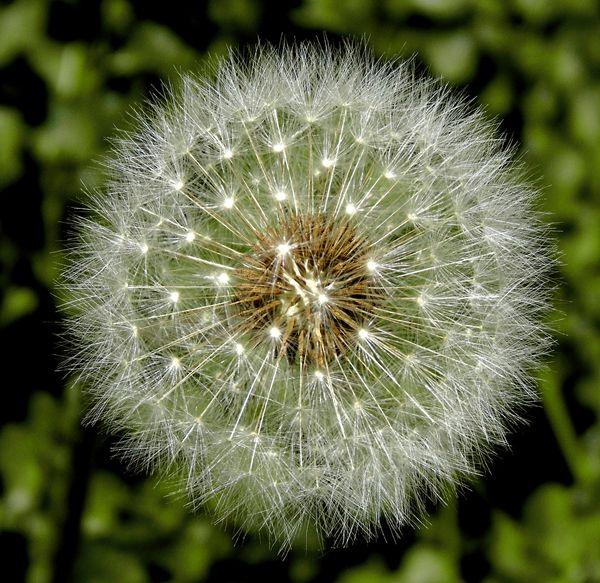 3rd Place Dandelion Clock by Christine Walters