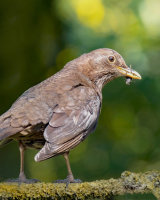3rd Place Female Blackbird by Kelvin Townsend