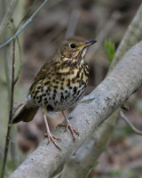 3rd Place Song Thrush in a Bush by Clive Pearson