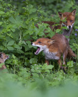 3rd Place The Fox Family by Derek Walker