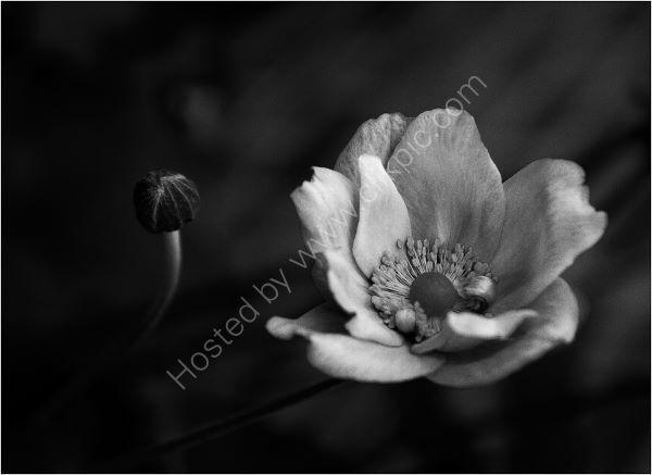 Anemone In Velvet